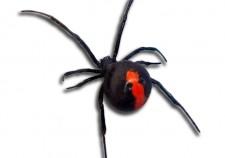English listening: redback spider