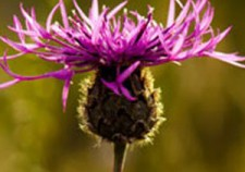 knapweed